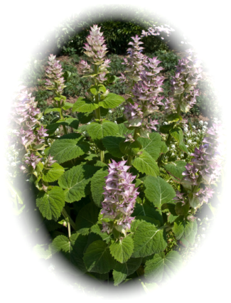 Clary Sage -Did You Know