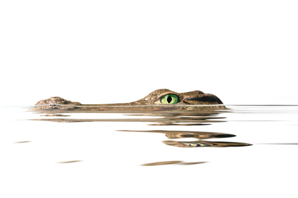 Alligator in water.png