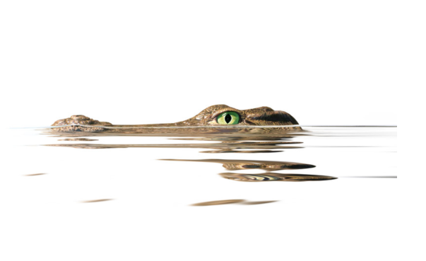 Crocodile in the water.png
